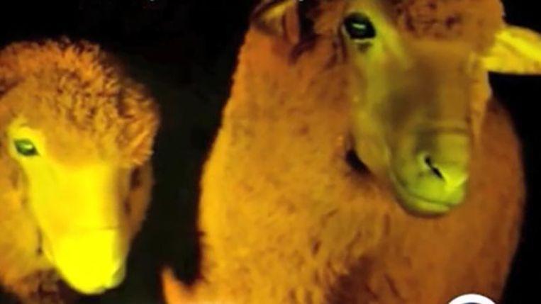 Door een eiwit kleuren de genetisch gemodificeerde schapen groen fluorescent in het donnker.