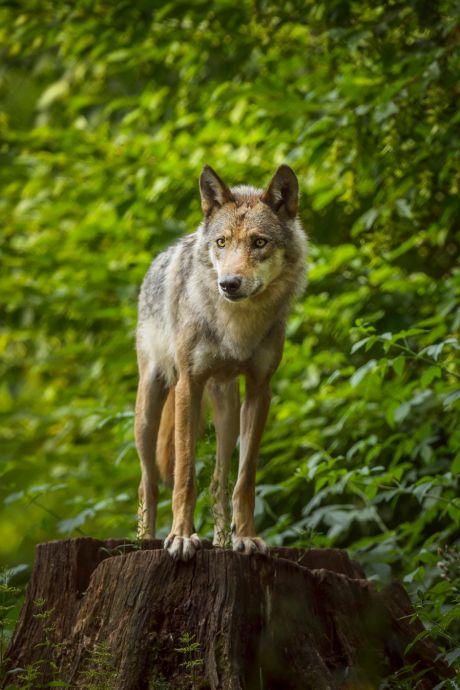 Drie schapen gedood in Someren, vermoedelijk door wolf