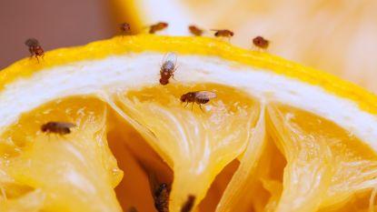 Vergeet de potjes azijn en afwasmiddel: zo bestrijd je fruitvliegjes écht