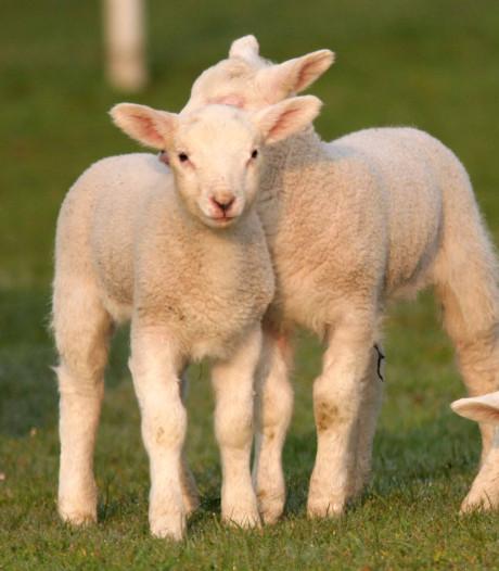 Geen zonnepanelen op ruim tachtig hectare schapenwei