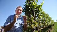 Limburgse professor maakt gin op basis van druiven