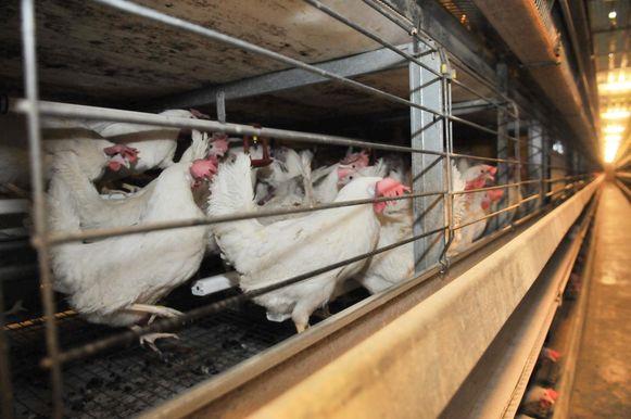 Archiefbeeld - Pluimveebedrijf Albers-Dochy moet op zoek naar een andere manier om de mest van de kippen te verwerken.