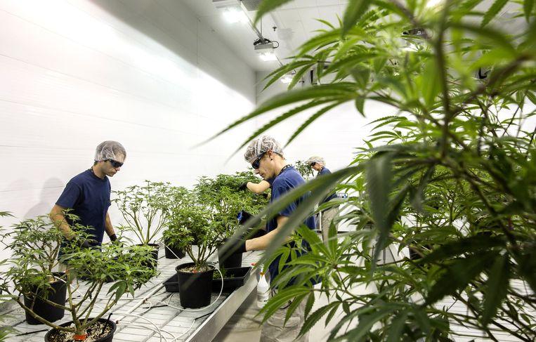 Medewerkers in een hennepkwekerij bij Canopy Growth Corp. in Ontario, Canada waar medische marihuana wordt geproduceerd. Beeld Getty Images