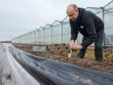 Eerste asperges al geoogst van de koude grond
