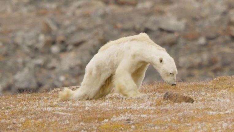 Deze ijsbeer is het slachtoffer van klimaatverandering - klopt dit wel? Beeld Video SeaLegacy