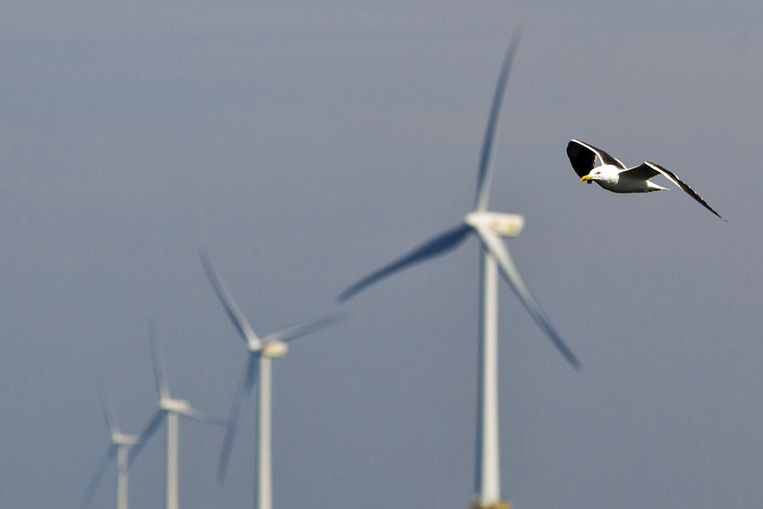 Vogels vallen dikwijls ten prooi aan windturbines. Beeld ANP