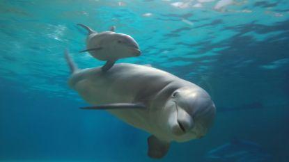Minister Ben Weyts wil houden van dolfijnen in gevangenschap verbieden: einde voor Brugs Dolfinarium?