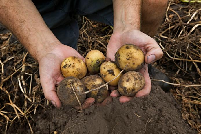 De aardappel is veel kleiner dan normaal door de droogte en hitte van de voorbije weken.