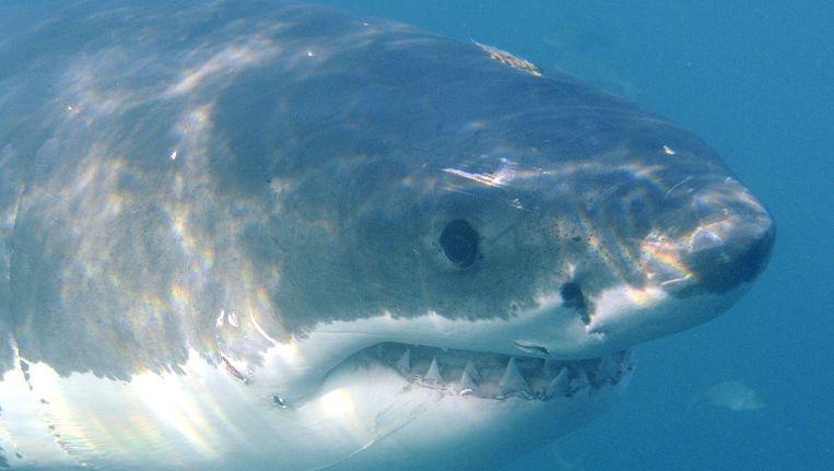 Een grote witte haai. Beeld epa