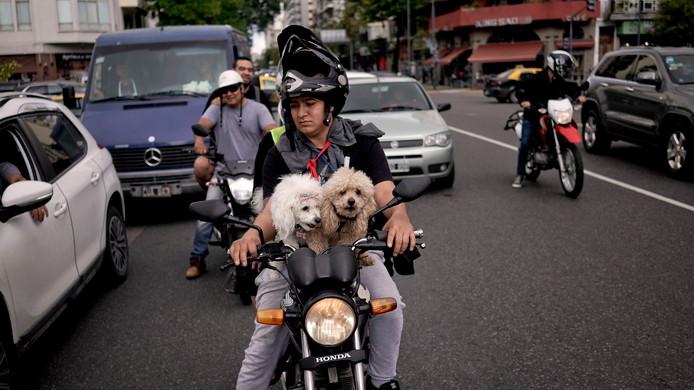 Een man rijdt moeiteloos met twee poedels voorop zijn motorfiets door Buenos Aires in Argentinië. De honden hebben geen helmpjes op. Foto Victor R. Caivano