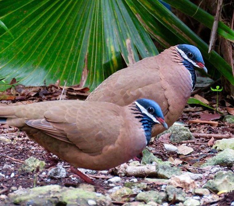 De blue headed quial dove, op Cuba. Beeld Arjan Dwarshuis