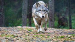 """Wolf woont na 100 jaar terug in Vlaanderen: """"Grote kans dat er de komende jaren nog meer zullen opduiken"""""""