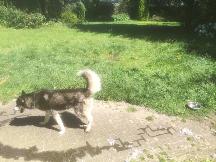 De Huskey die door de politie in de schaduw werd gelegd in Helmond.