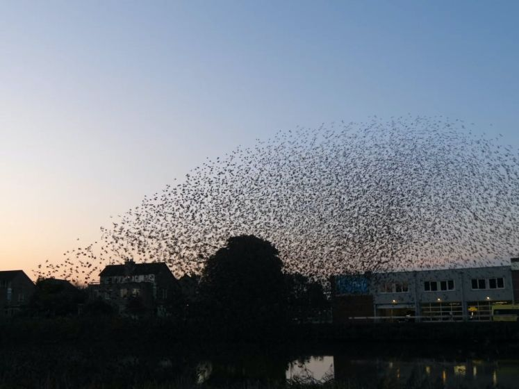 Dagelijkse luchtshow van tienduizenden spreeuwen in Gouda