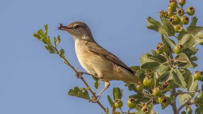 Elk jaar worden in Andalusië 2,6 miljoen vogels uit bomen gezogen bij oogst olijven: regering grijpt in