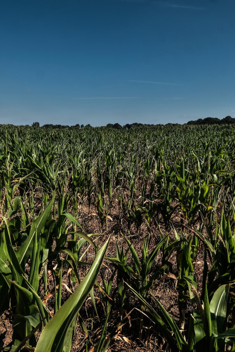 Ramp voor boeren: maisoogst dreigt te mislukken