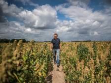 Dé oplossing voor hete zomers? Nederlandse quinoa doet het goed op de droge akkers