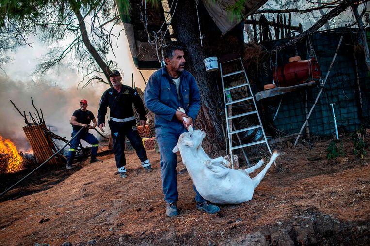 Een boer probeert zijn geit te redden van een bosbrand op het eiland Evia ten noordoosten van Athene. Vanwege de brand werd de noodtoestand afgekondigd en werden vier dorpen ontruimd.  Beeld AFP