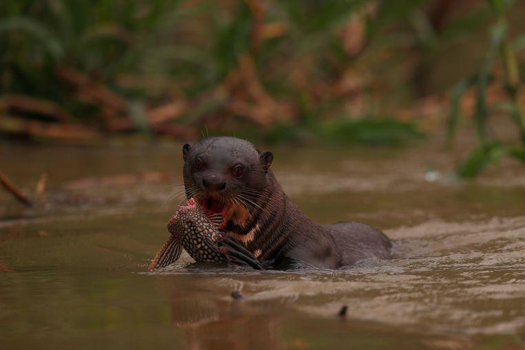 Een otter eet vis in de Cuiaba rivier, Brazilië, het grootste wetland ter wereld dat wordt geteisterd door branden. Beeld REUTERS