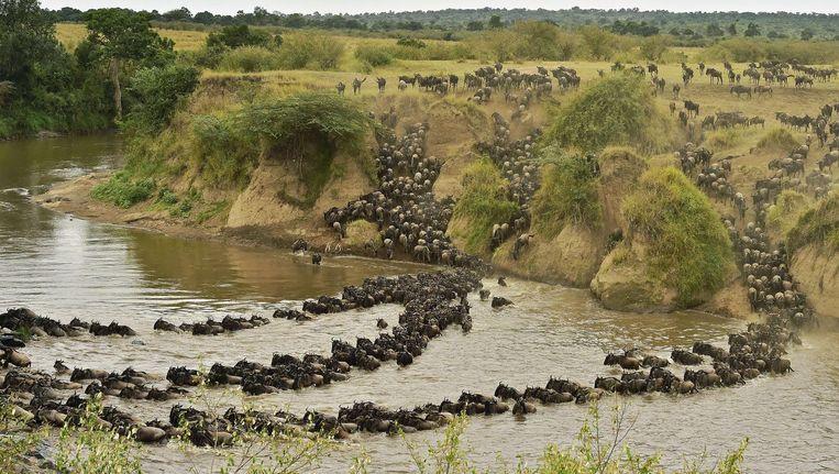 Gnoes steken een rivier over in het natuurreservaat Masai Mara in het zuidwesten van Kenia. Beeld AFP/Getty Images
