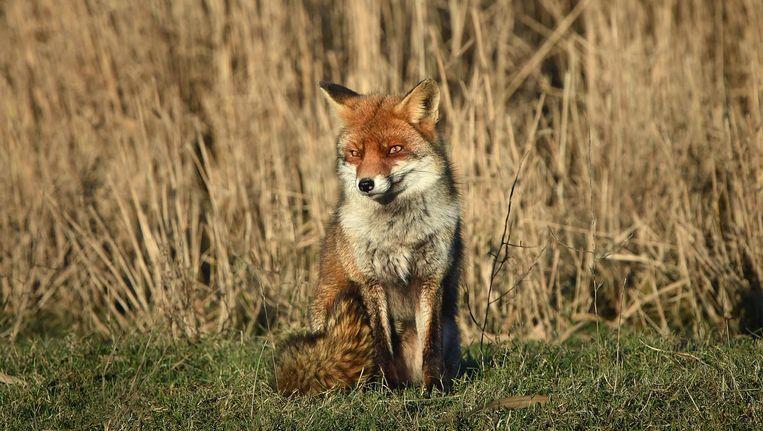 Een vos in de Oostvaardersplassen Beeld Marcel van den Bergh / de Volkskrant