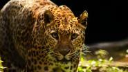 Luipaard bijt biddende monnik dood in India, politie start klopjacht