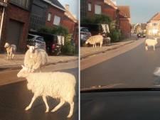 Na de koeien, nu de schapen: loslopende dieren zorgen voor hilariteit op Facebook
