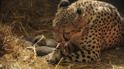 Olmense Zoo verliest vier pasgeboren cheetawelpjes