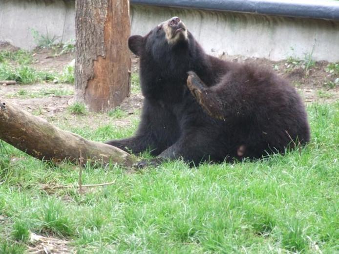 Zie-Zoö in Volkel kreeg ook een onderscheiding voor de zwarte beren als mooiste nieuwe aanwinst 2012 van alle dierenparken in de Benelux.