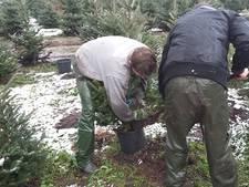 Dit weekeinde recorddrukte bij  kerstboomverkoop; veel Nederlandse bomen naar buitenland