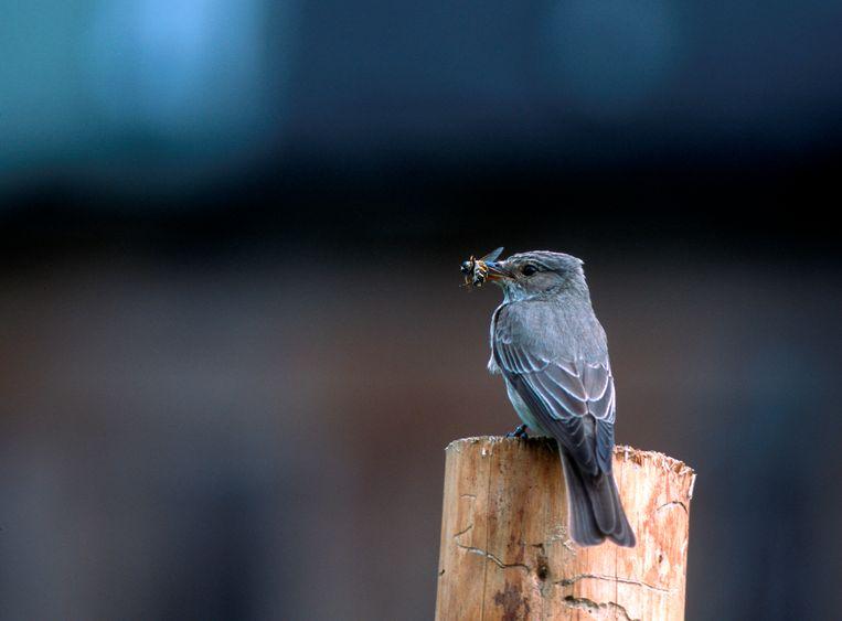 Grauwe vliegenvanger. In Nederland van eind april tot begin augustus. In kleine aantallen te vinden in oud loofbos, tuinen en parken, en in kleinschalig boerenland met uitgegroeide houtwallen. Beeld Focus/Universal Images Group via