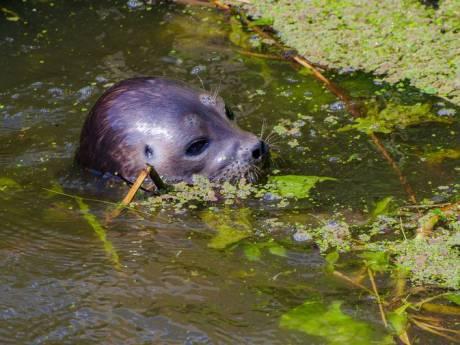Zeehond trekt weg uit Utrecht en is gespot in jachthaven van Maurik