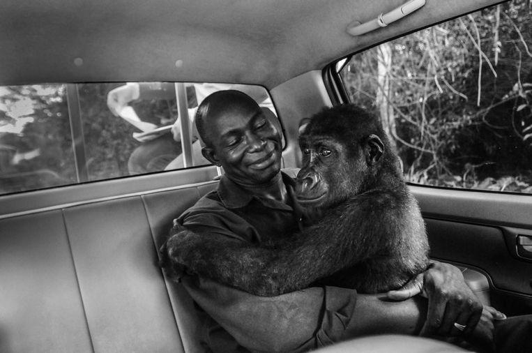 Ook goed nieuws: deze gorilla kon worden gered en wordt door een verzorger naar een tehuis gevoerd.