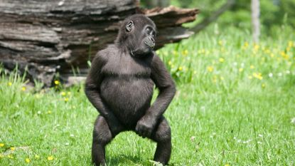Waarom aap uit de toon valt en kaketoe volleerde rockster is