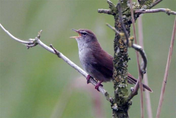 Het zangvogeltje cetti's zanger is voor het eerst in Zwolle waargenomen.