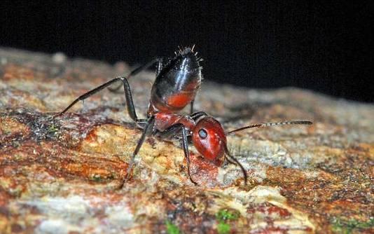 Bij dreigend gevaar richt de mier zich op en maakt zich zo boos dat hij uit zijn vel barst