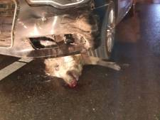 Un conducteur fauche 19 sangliers d'un coup
