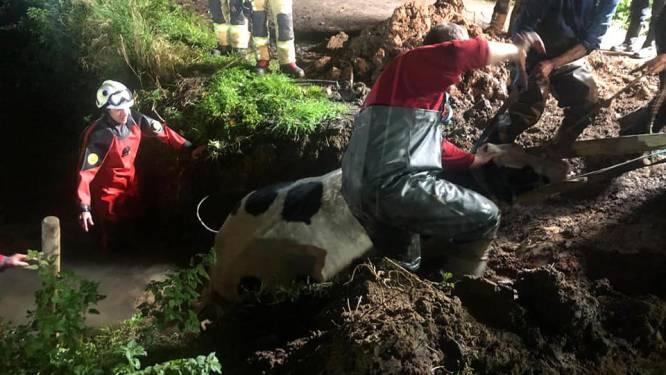 """Brandweer redt 6 koeien uit beek: """"Eentje kreeg een luxebehandeling!"""""""