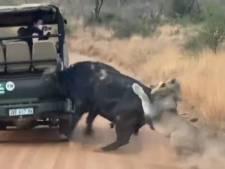 Attaqué par des lions, un buffle fonce sur une voiture en plein safari