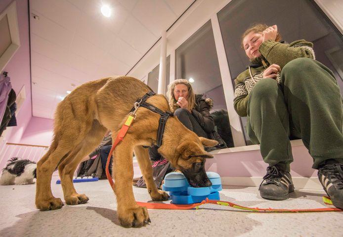 Fox zoekt een koekje in een draaimolen. De Mechelse herder-pup is samen met zijn baasjes Geeske en Julia naar de puppy-party gekomen.