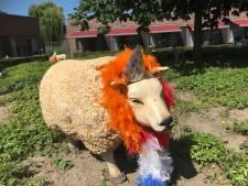 Doesburgse schapen uitgedost voor WK voetbal