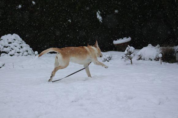 Sneeuw hond Brugge