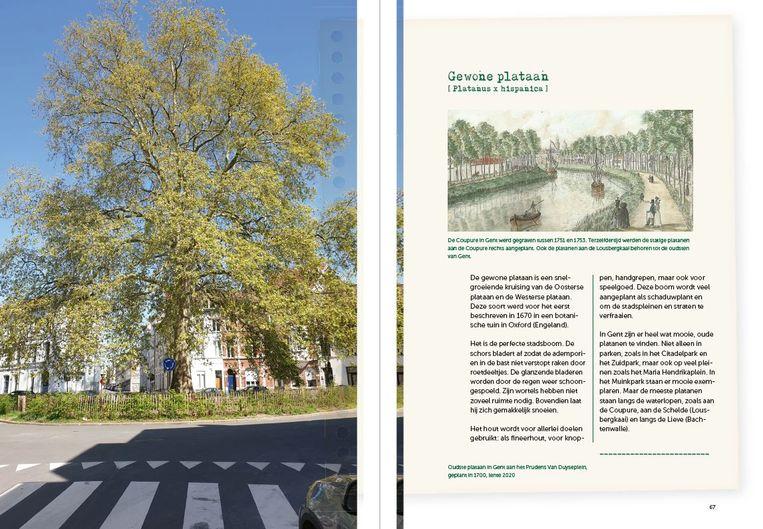 Links de reusachtige plataan op het Van Duyseplein, geplant in 1700, en rechts de bijhorende pagina in het boek over platanen.