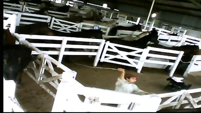 Paarden op de 'bloedboerderijen' uit de undercover filmbeelden van  Tierschutzbund Zürich en Animal Welfare Foundation