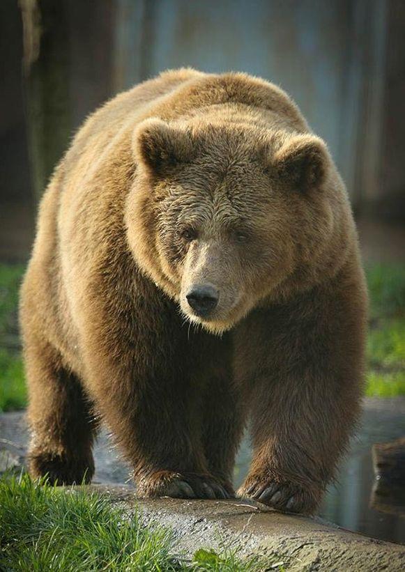 Bruine beer Elena in dierenopvangcentrum De Zonnegloed.