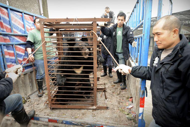 Een zwarte beer wordt verplaatst nadat hij is gered uit een 'bear farm' in China.  Beeld AFP