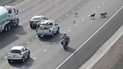 Honden veroorzaken file op Amerikaanse snelweg