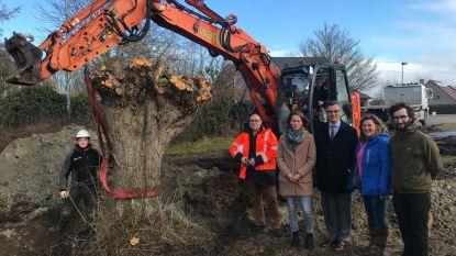 Oude bomen verplaats je niet ... behalve in Damme: 19 knotwilgen krijgen nieuwe thuis