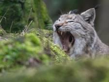 Après le loup, le lynx bientôt en Belgique?