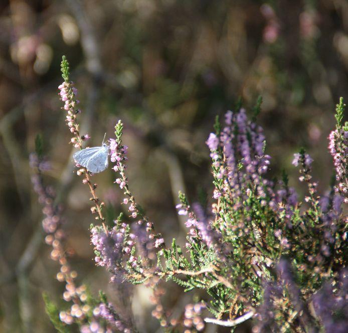 Een vlinder in het heidegebied van Radio Kootwijk.